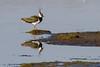 Northern Lapwing - Kievit (Roland B43) Tags: birds kievit northernlapwing uitkerke mygearandme mygearandmepremium mygearandmebronze mygearandmesilver flickrstruereflection2 flickrstruereflection3 flickrstruereflection5 flickrstruereflection6