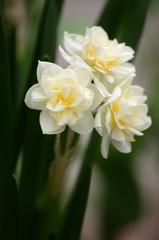 """Narcissus """"Erlicheer"""" (mellting) Tags: plant flower nikon sweden gothenburg narcissus gteborgsbotaniskatrdgrd gothenburgbotanicalgarden erlicheer sigma70300456 bloggad narcissuserlicheer nikond7000 mellting matsellting gbgbotaniska"""