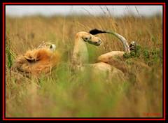 "ANOTHER MALE LION KNOWN AS ""SIMBEO""....NAIROBI NAT PARK...NOV 2012 (M Z Malik) Tags: africa nikon leo kenya wildlife ngc safari nairobinatpark d3x flickrbigcats exoticafricancats exoticafricanwildlife 200400mm14afs"