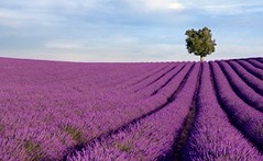 Rich lavender field with a lone tree (GilliesZaiser) Tags: flowers sky france color colour lines rural french landscape outdoors scenery colorful europe european purple natural farm farming harvest scenic violet lavender farmland crop bloom richness provence agriculture shrub herb herbal scent stalks fragrance aroma blooming tidiness herbalism lavandulaangustifolia