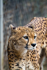 Cheetah (Cloudtail the Snow Leopard) Tags: zoo landau tier animal säugetier mammal cat katze bigcat groskatze raubkatze gepard cheetah acinonyx jubatus cloudtailthesnowleopard