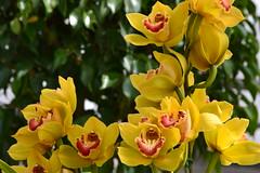 Orchid (KsCattails) Tags: orchid flower asheville north greenhouse carolina biltmoreestate 2013