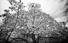 magnolias bloom (Hiroyuki Okamoto) Tags: leica blackandwhite monochrome boston ma voigtlander rangefinder bloom magnolia plus hp5 135 m2 ilford publicgarden selfdeveloped superwideheliar homedeveloped ddx selfdeveloping ilfotech voigtlandersuperwideheliar15mmf45ii
