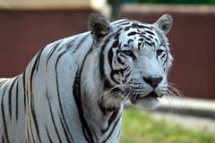 TIGRE DE BENGALA BLANCO (castorssito) Tags: tigre bigcats bengaltiger zoologico tigredebengalablanco mexicocityzoo zoologicodearagon