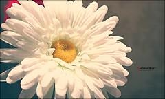 (Tahany) Tags: flower canon  d560 topphotos    tahany tahanym