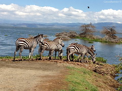 Zebras on the Edge (Carundhammer) Tags: africa family trees sky bird water clouds kenya shore peninsula zebras foal babyanimal lakenaivasha