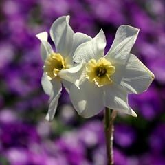 purple bokeh (aokcreation) Tags: white flower color macro nature closeup garden botanical purple blossom bokeh ngc daffodil pansies lewisginterbotanicalgarden simplysuperb awesomeblossoms blinkagain macromagister sonyslta65v