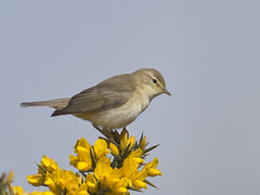 Willow Warbler ( Phylloscopus trochilus) (phil winter) Tags: uk sussex willow warbler phylloscopustrochilus