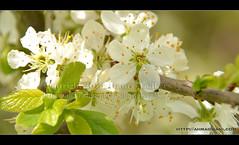 Flowers of the Apples ({ahradwani.com} Hawee Ta3kees- ) Tags: uk london nikon europe images ali sample hassan essex 2013 18300mm d7100 london2013 hawee nikon18300mm haweeta3kees ta3kees nikond7100 ahradwanicom ahradwani nikon18300lens nikkorafsdx18300mmf3556gedvr nikond7100sampleimages