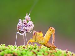 IMG_10365 (thienbs) Tags: macro mantis thienbs