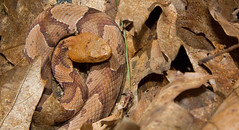 sub-adult Northern Copperhead (lotterhand) Tags: snake northern venomous copperhead pitviper