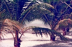 coconut palm, Cocos nucifera (Estoy Unico) Tags: sea plants tree beach nature flora palm jakarta palmtree coconutpalm cocosnucifera antoniuni ancolbeach