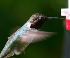 Working the seam (TJ Gehling) Tags: bird hummingbird flight feeder annashummingbird birdinflight calypteanna calypte apodiformes birdflight