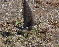 Sand Martin - Riparia riparia (Hornbeam Arts) Tags: bird martin essex walton sandmartin ripariariparia