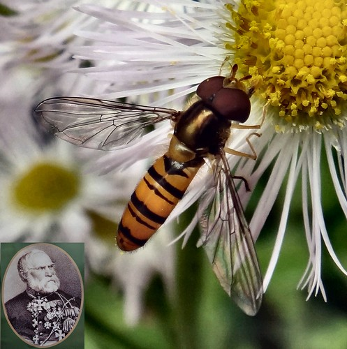 The Hoariness of Old Men. Erigeron philadelphicus, Haru-jion: 春紫苑, Spring Aster, and Episyrphus sp., Hoverfly, Narutaki, Nagasaki, Japan
