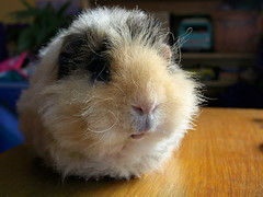 Griff 2, 5 May 13 (Castaway in Scotland) Tags: pet cute animal scotland guinea pig cavy rodent adorable olympus east lothian musselburgh e410
