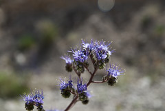 Phacelia (lacey underall) Tags: california flower purple wildflower phacelia hydrophyllaceae boraginaceae deathvalleyroad