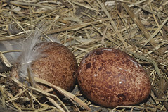 Eieren Torenvalk (Jan Visser Renkum) Tags: eggs kestrel falcotinnunculus torenvalk eieren commonkestrel