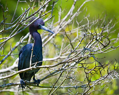 Little Blue (Grant and Caroline's pix) Tags: bird heron nature wildlife birding oiseau littleblueheron magnoliaplantation audubonswamp