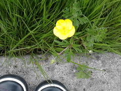 Buttercup (Joybot) Tags: wild black flower green english home grass yellow garden concrete leaf spring shoes buttercup bloom british mygarden blades springtime blooming