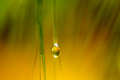IMG_6000x sn (eslingermj) Tags: macro green grass canon gold waterdrop soft droplet gota alternative mjeslinger mjesli