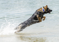 Kastle Swims 2013-06-07-4 (falon_167) Tags: dog shepherd german gsd germanshepherddog kastle
