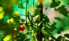 Nel tempo (marco.ferrario3) Tags: summer estate pomodoro tomato green red canon55mm12ssc nex5t f12 12 nex5
