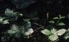 Herb Paris, Garn Llwydd, Llancarfan, 13/05/90 (Mary Gillham Archive Project) Tags: herbparis llancarfan parisquadrifolia planttree st051702 wales 13051990 1990 3584