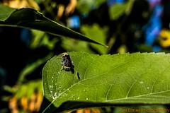 _MG_3897 Logo Small (Tim Elmer Photography) Tags: abejas