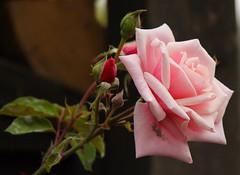 Pink rose (ToJoLa) Tags: canon canoneos60d 2016 wandeling zuidlimburg duitsland grensroutes grensstreek colours kleuren hertzogenrath rimburg zomer summer green nature natuur roos rose pink romantiek romance