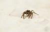 Yeux verts (Eric Penet) Tags: animal sauvage wildlife wild août été nature faune araignée arachnidae arachnide sauteuse salticide salticidae macro macrophotographie france nord