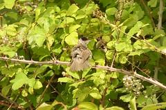 Young male Black cap (postman.pete) Tags: blackbird dunnock bee artichoke cormorant mud mallard egret butterfly white red moth skipper grasshopper blue hoverfly lumix canon hwcp