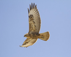 Buzzard (JSR-Photography) Tags: bird animal flight kestrel telephoto zoom fuerteventura spain