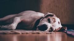 """Sleeping Hunter"" #flickrheroes #dog #nature #animal #handsome #pointer #englishpointer #canon #canon600d #sleep #sleeper #hunter #lightroom #flickr (cemmutlu) Tags: flickrheroes dog nature animal handsome pointer englishpointer canon canon600d sleep sleeper hunter lightroom flickr"