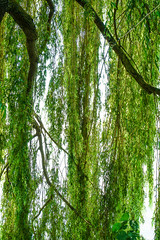 Weeping Willow (judy dean) Tags: judydean 2016 sonya6000 mainau constance lake willow weeping leaves branches water