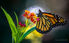 Monarch on Butterflyweed... (jschrock46) Tags: monarchbutterfly monarch butterfly butterflyweed flower macro insect bug