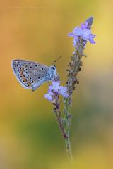 Polyommatus icarus (Raffaella Coreggioli ( fioregiallo)) Tags: natura macro fioregiallo nikon insetti farfalle fotografia veneto