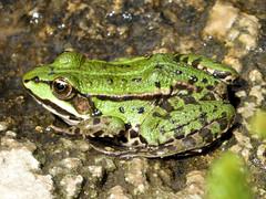 Teichfrosch (Gertrud K.) Tags: animal frog rana pelophylaxesculentus