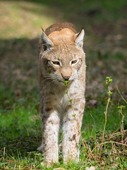 Lynx / Luchs (Burnett0305) Tags: bavaria bayern carnivora em1 felidae feloidea germany katze katzen katzenartige kleinkatze kleinkatzen luchs luchse lynx mzuikodigitaled40150mm128pro mammalia omd olympus olympusomdem1 raubtiere sugetiere wildparkpoing