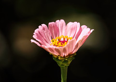 Catching the light (Sky_PA (Catching up slowly- On/Off)) Tags: zinnia flower pink light bokeh dark darkness amateurphotography beautiful canon colorful colors closeup canoneos depthoffield efs55250mmf456isstm flowers green inspiredbylove lebanon pennsylvania nature outdoor outdoors pa plant quote rebelt6i t6i summer background beautifulearth