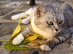 C'est ma feuille ! (Noemie.C Photo) Tags: feuille leaf cat chat gato animal nature sol ground pav rue street city ville sarlat dordogne look regard gris grey vert green cute mignon