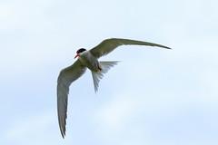 Sterne Pierregarin (Sterna hirundo) (yann.dimauro) Tags: fr france loire loiret sully sullysurloire animaux extrieur faune oiseau ornithologie yanndimauro