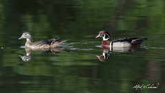 Wood Duck Pair (Alfred J. Lockwood Photography) Tags: alfredjlockwood wildlife nature bird duck woodduck water reflection creek keller bearcreekpark texas morning breedingplumage summer