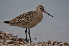 Bar-tailed Godwit   (Limosa lapponica) (GrahamParryWildlife) Tags: beta mk2 7d 150600 sigma grahamparrywildlife uk kent rspb animal outdoor viewing photo flickr add new sunlight depth field up blue dof kentwildlife marsh dungeness aquatic green bar bartailed godwit limosa lapponica