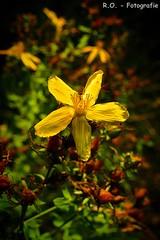 Blte / Blossom (R.O. - Fotografie) Tags: blte blossom gelb yellow natur nature outdoor closeup close up panasonic lumix dmcfz1000 dmc fz1000 fz 1000 blume flower