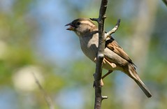 (careth@2012) Tags: wildlife nature beak branches perched