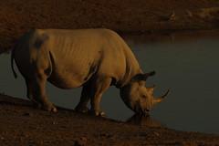 Black Male Rhino at Waterhole, in afternoon glow, Etosha National Park, Namibia K__36595 (Mike07922, 3.6 Million+ Views - thanks guys) Tags: africa wildlife safari pentaxk3 etoshanationalpark rhino black drinking nature