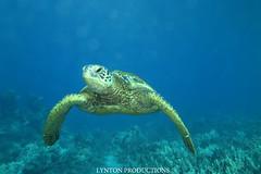 IMG_0062 copy (Aaron Lynton) Tags: lyntonproductions tako honu turtle hawaii maui underwater canon g1x spotted eagle ray octopus sea star