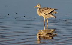 Grey Heron (Cal Killikelly) Tags: grey heron wildlife burton mere rspb juenile reflection