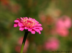 The quickest way to double your money.... (itucker, thanks for 2.4+ million views!) Tags: pink hppt macro bokeh zinnia dukegardens